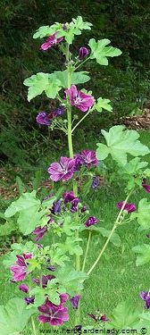 Purple mallow with edible flowers.