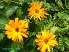 Calendula herb is invaluable in first-aid skin lotions and ointments.