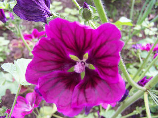 Eat these purple edible flowers (mallow, mauritian)with drinks or herbal teas.