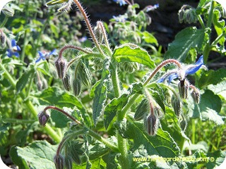 Borage herb in full bloom