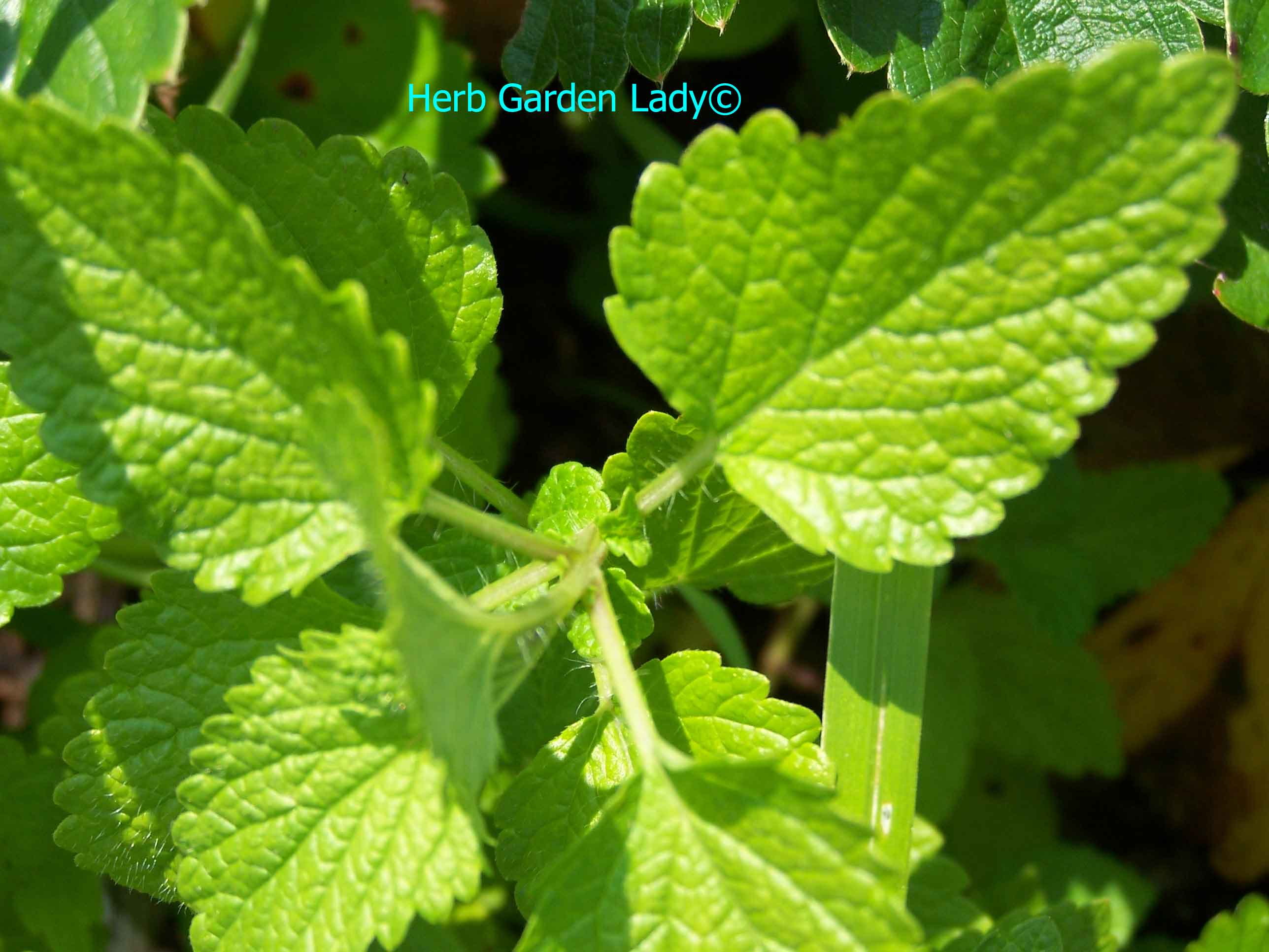 Melissa also known as lemon balm is used in aromatherapy for digestion, fever, menstrual problems, nervous tension, neuralgia and respiratory problems.