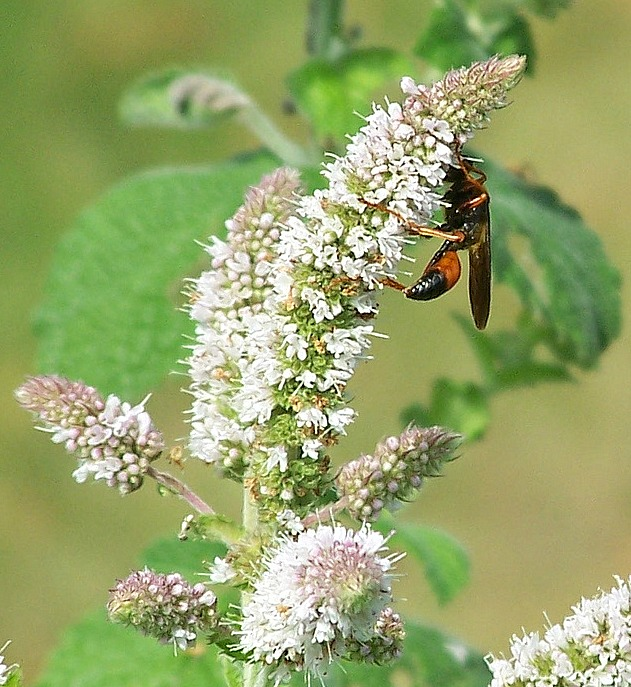 Ichneumon Wasp is on my apple mint collecting nectar while controlling harmful insects.