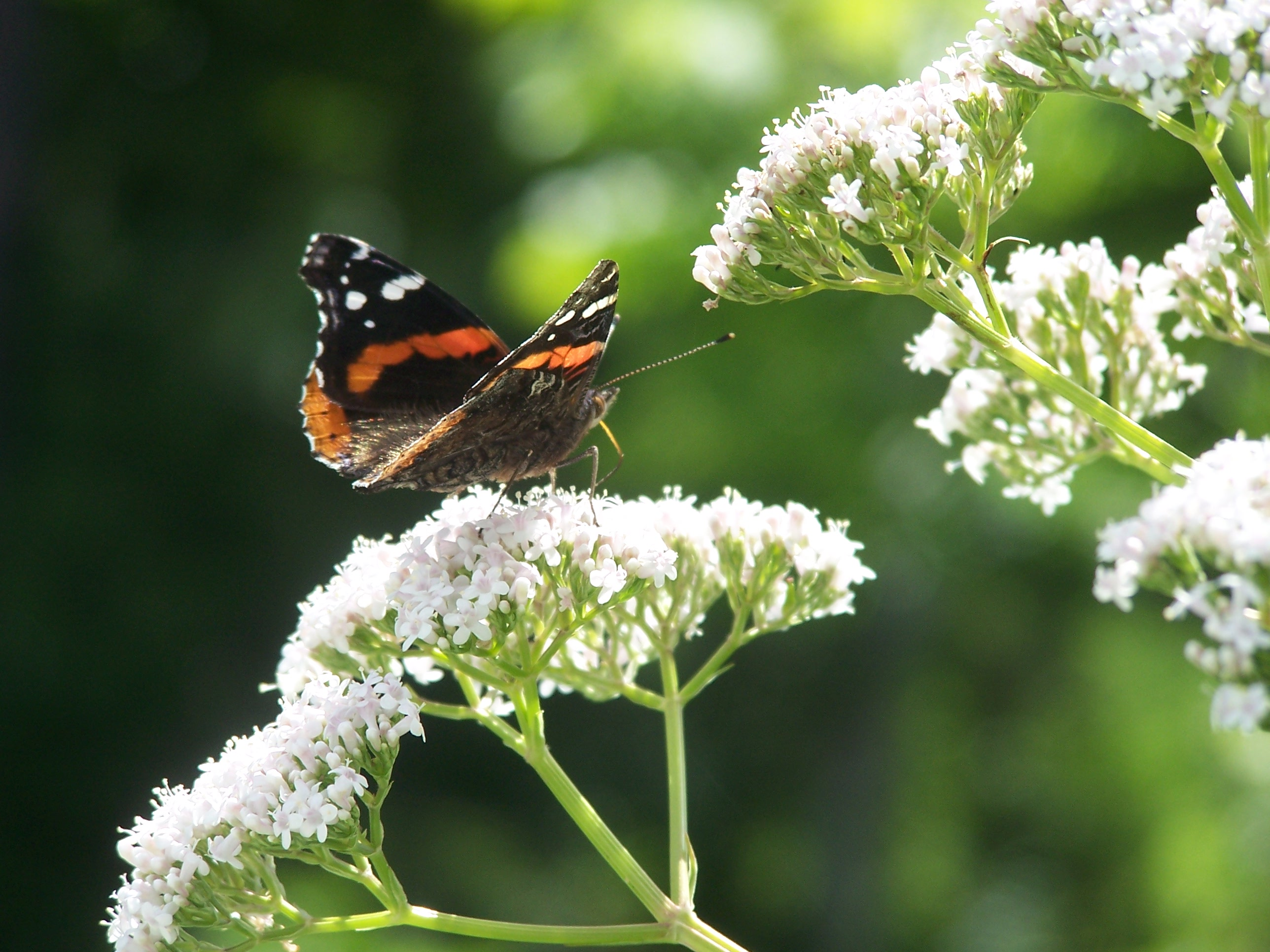 Valerian herb plant is providing nectar to a hungry butterfly.