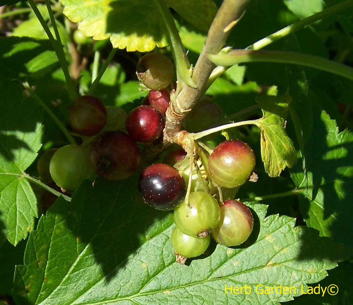 Black currants just starting to ripen