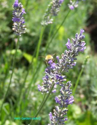 Lavender herb for sachets, teas and aromatherapy
