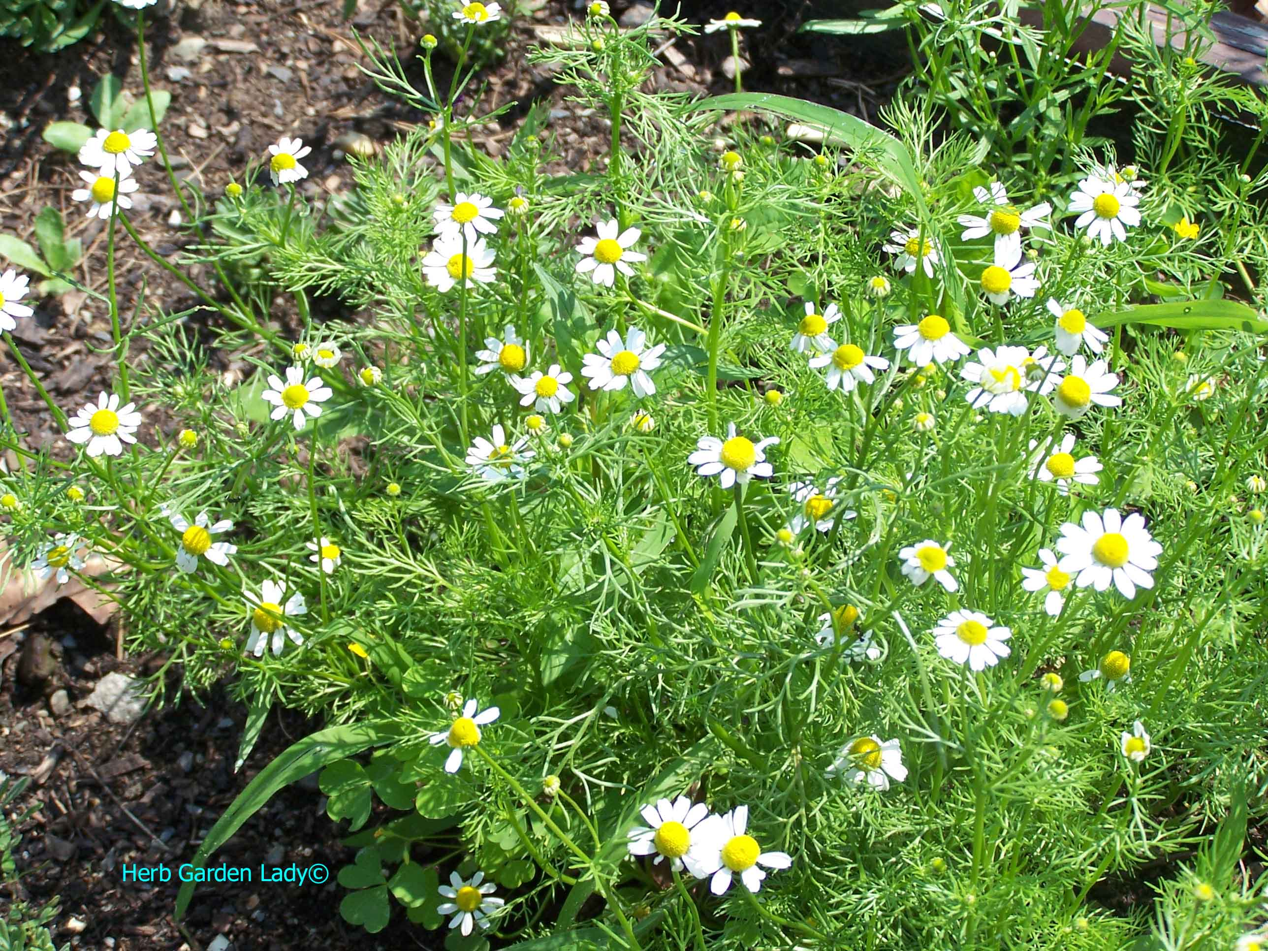 Chamomile herb used in aromatherapy is taken as a tea, tincture, decoction or herbal wrap for your skin.