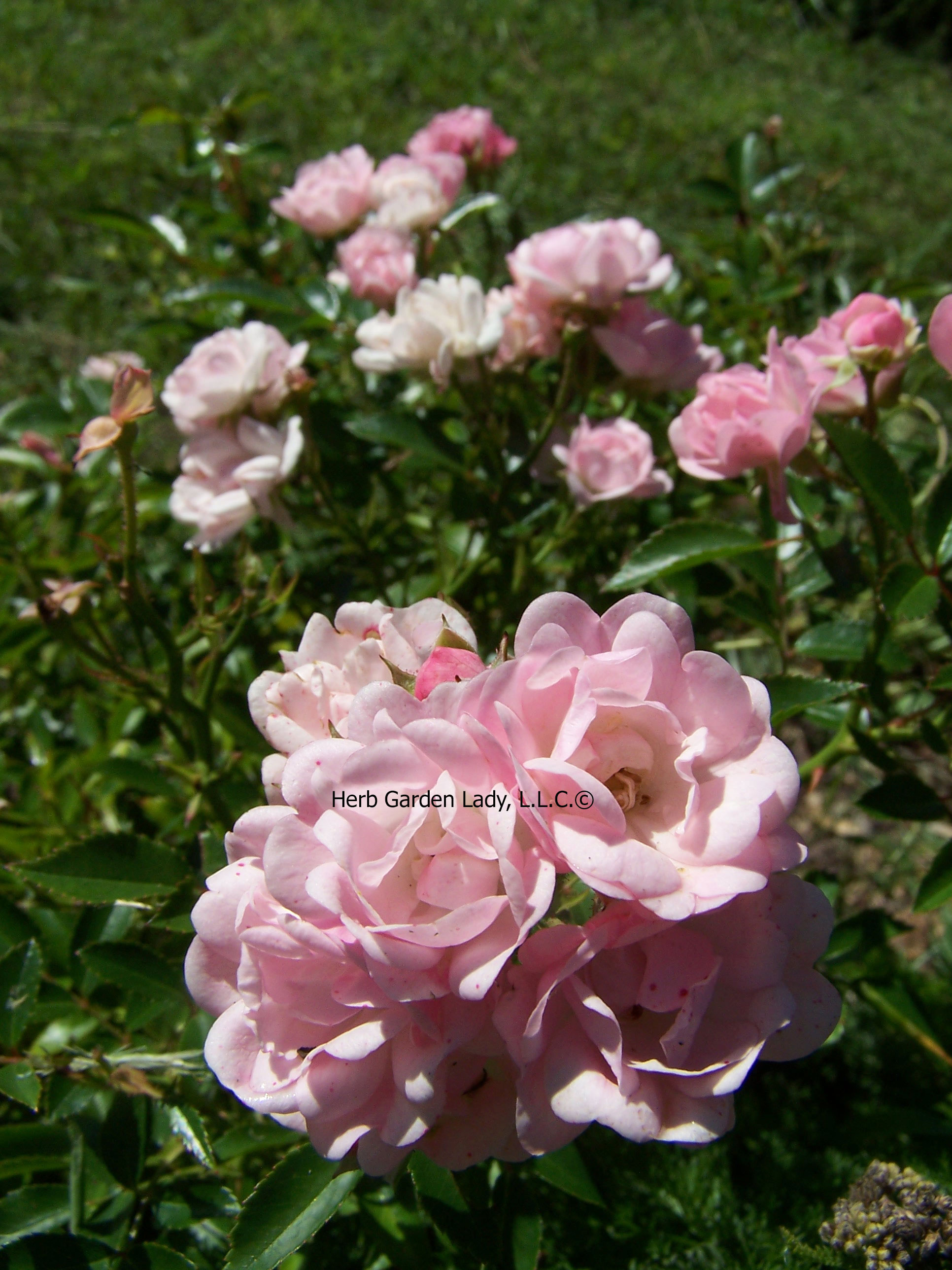 Fairy roses in bloom in my Aromatherapy herb garden