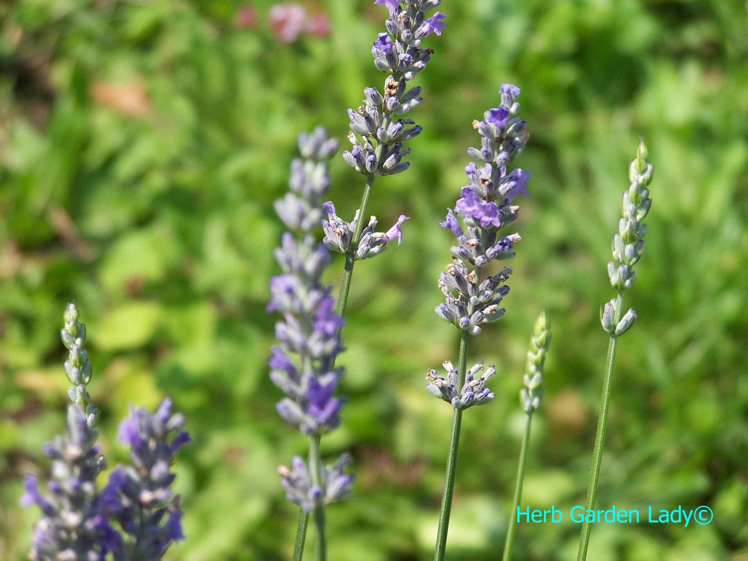 Lavender is great for making lavender wreaths and crafty items.