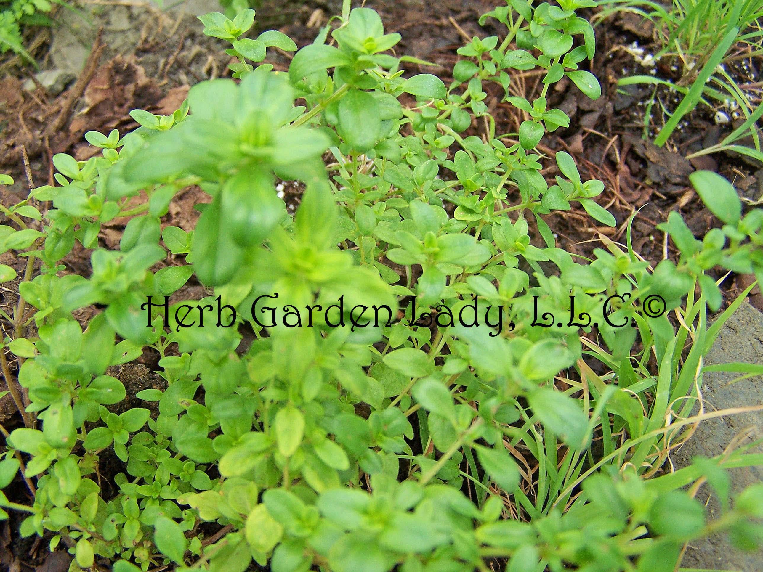Wild thyme variety