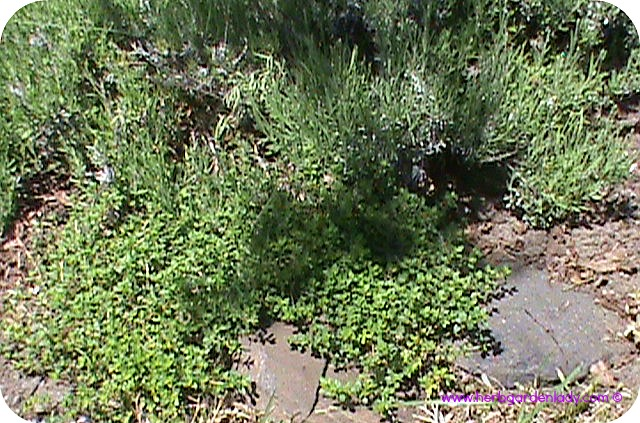 Pink perfume lavender with wild thyme in a rock herb garden