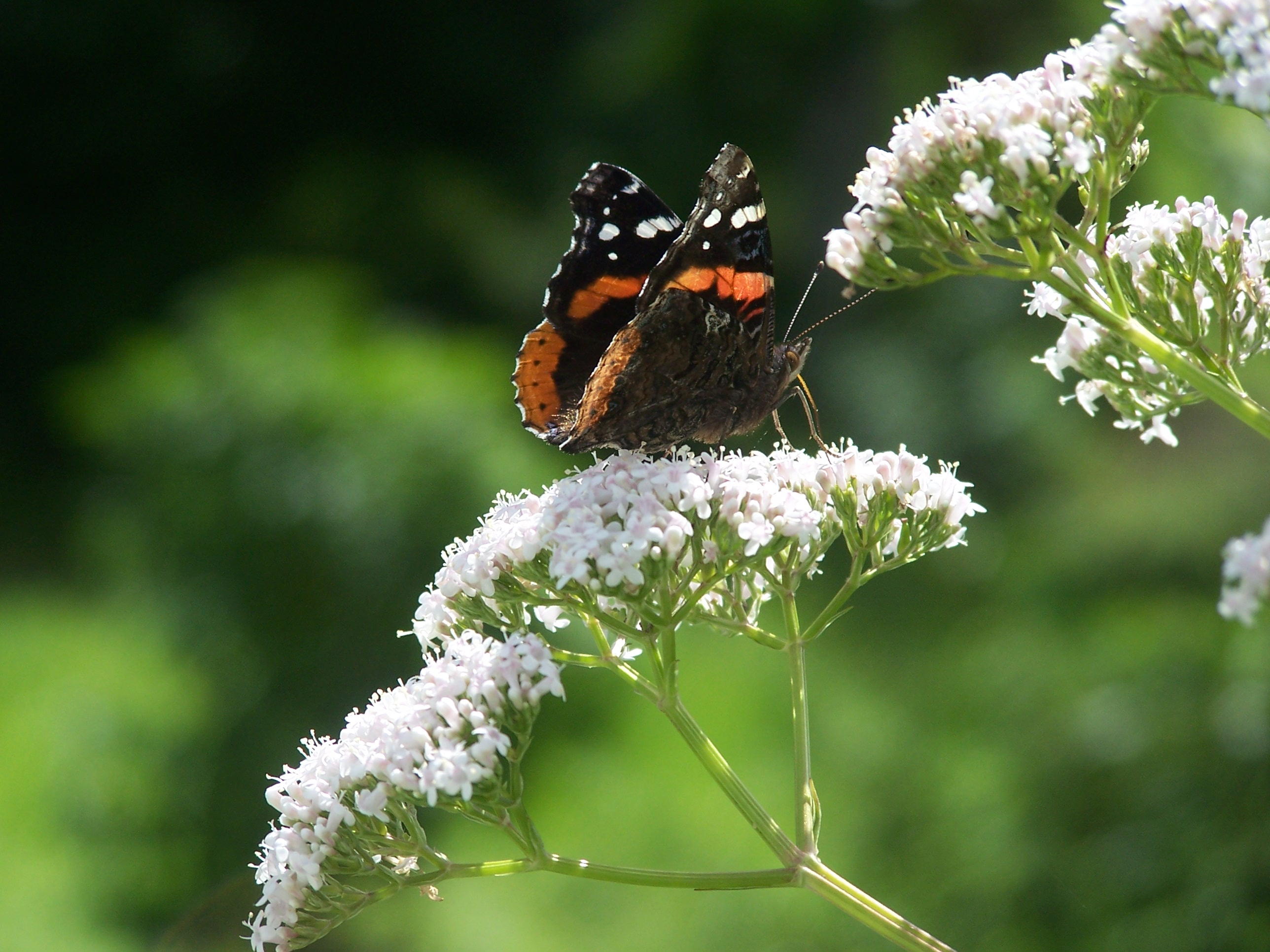 Valerian herb with butterfly