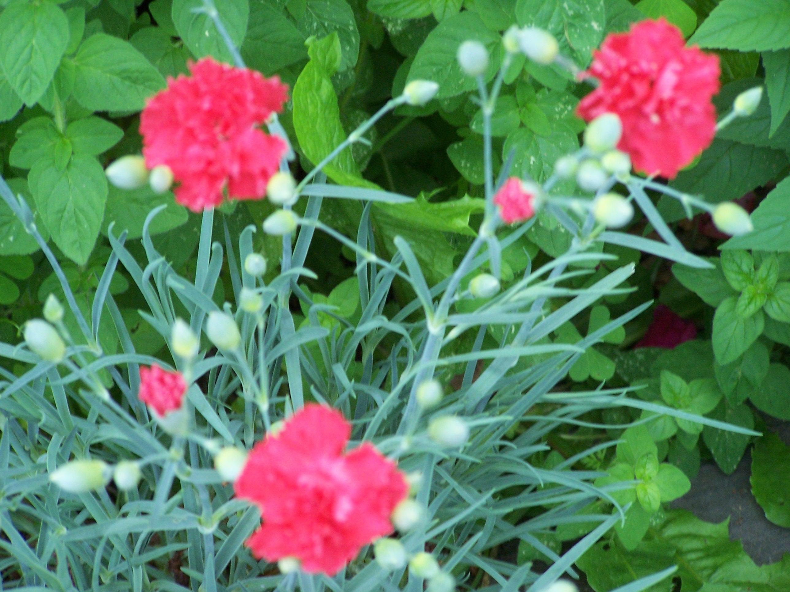 Clove pink - dianthus (perennials) - carnation