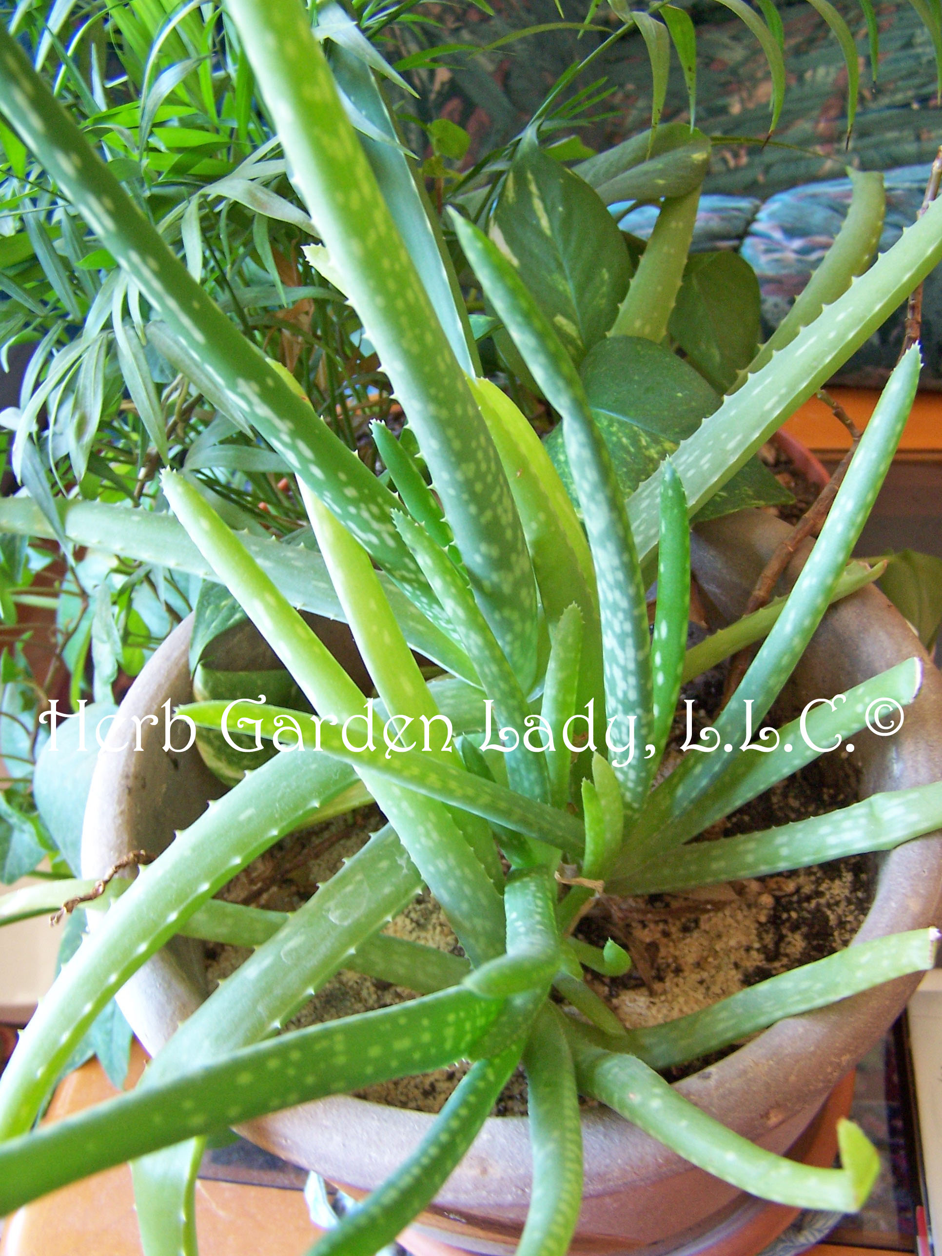 A Year Round Growing Season. Aloe Vera Herb Used In My Soaps. My Window Herb  Garden Aloe Vera Herb