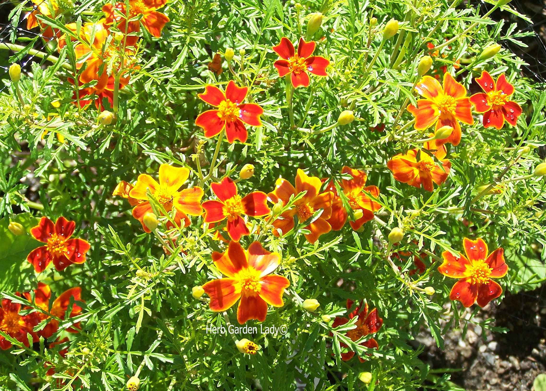 Marigolds, orange gem are another one that's easy to grown in raised beds.