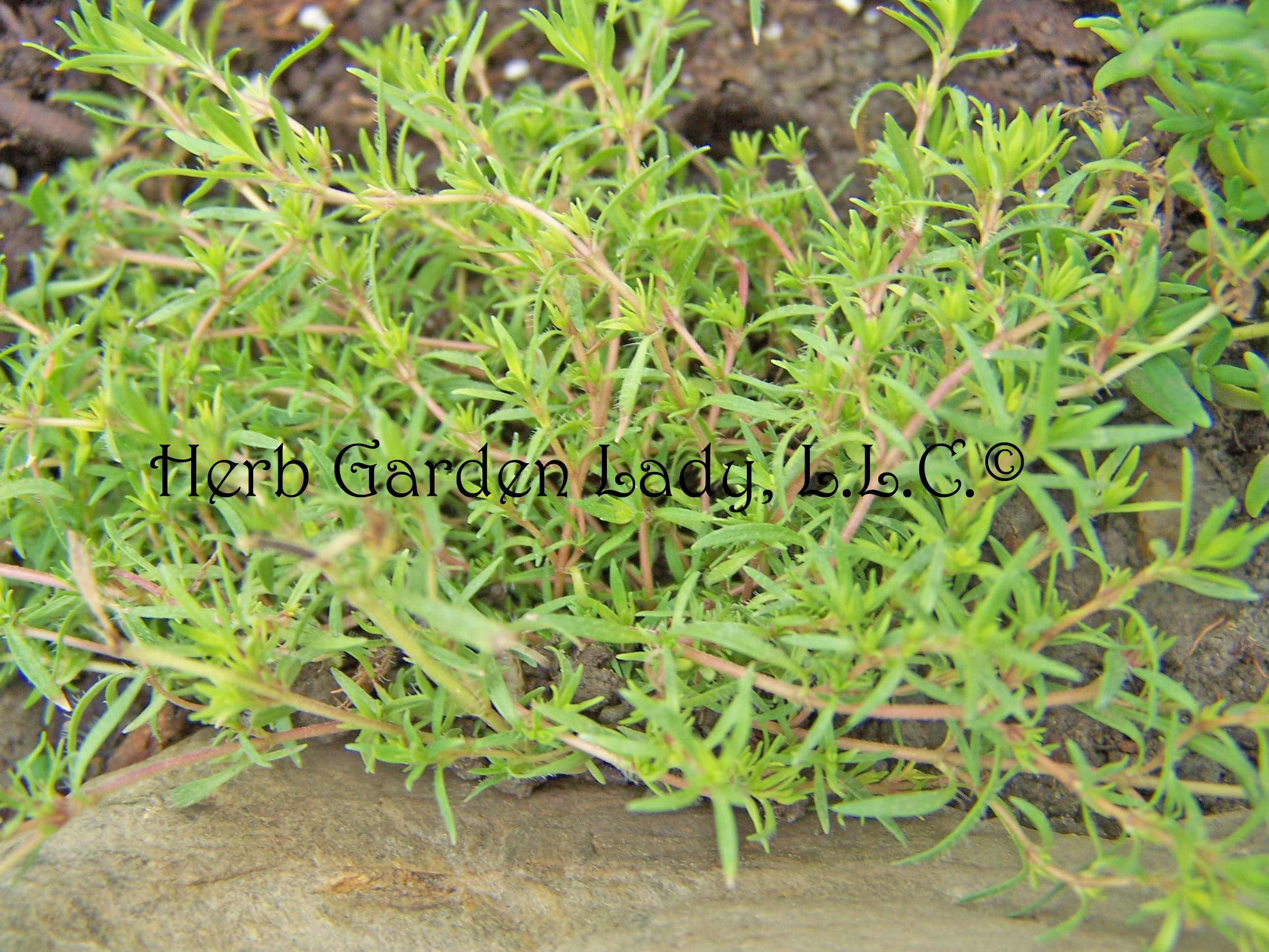 Thyme is a delicious herb with short roots.