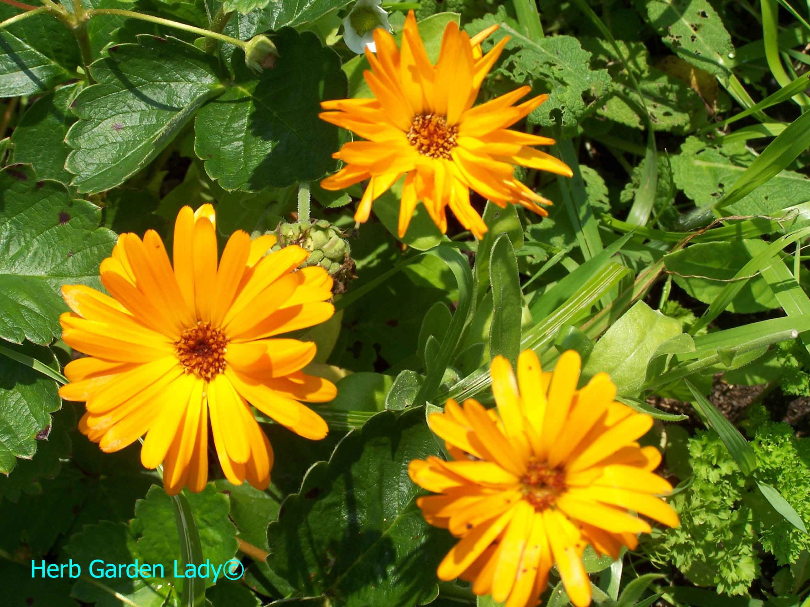 Calendula herb is invaluable in first-aid skin lotions, ointments or soaps.