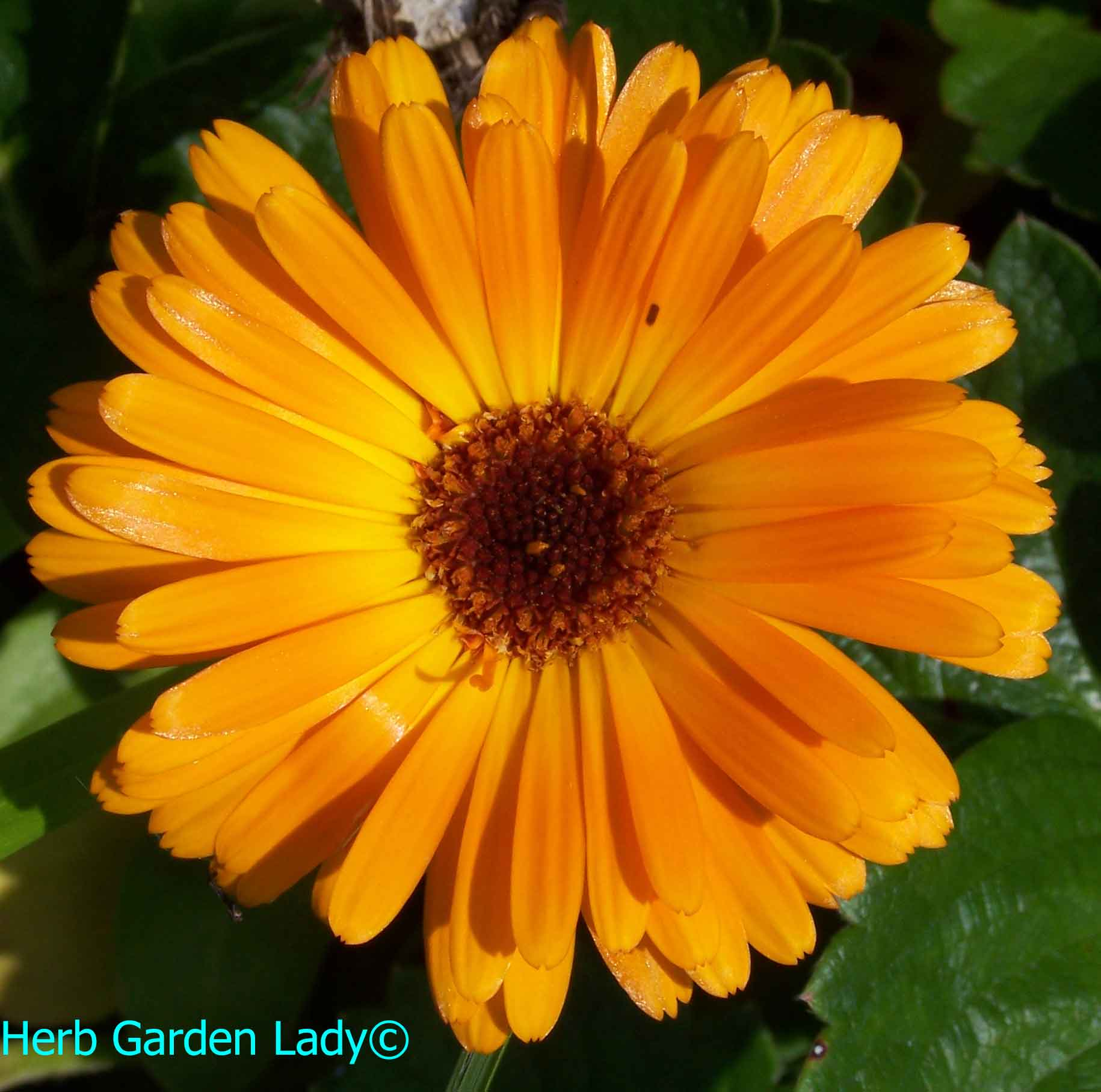 The calendula herb is a superb for dry skin and chapped lips