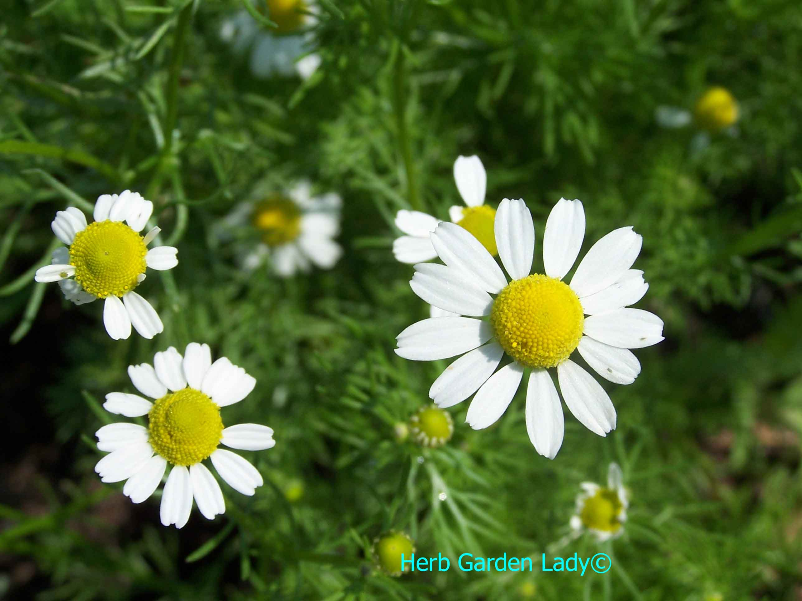Chamomile herb used in aromatherapy is excellent for depression, diarrhea, digestion, menstrual and your skin.