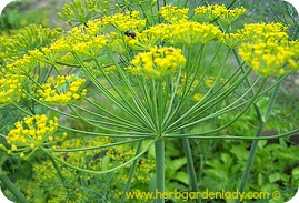 Dill herb edible flower