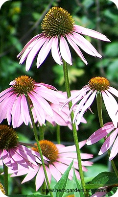 Echinacea herb is used mainly in herbal medicines to treat cold and flu symptoms.