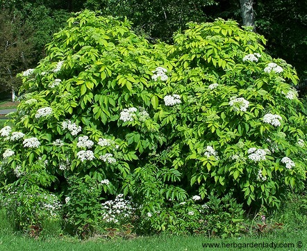 Elderberry is rich in history and folklore. Plant this herb in a biblical herb garden; use it in medicinal or culinary preparations as well as a great deterrent for garden pests.