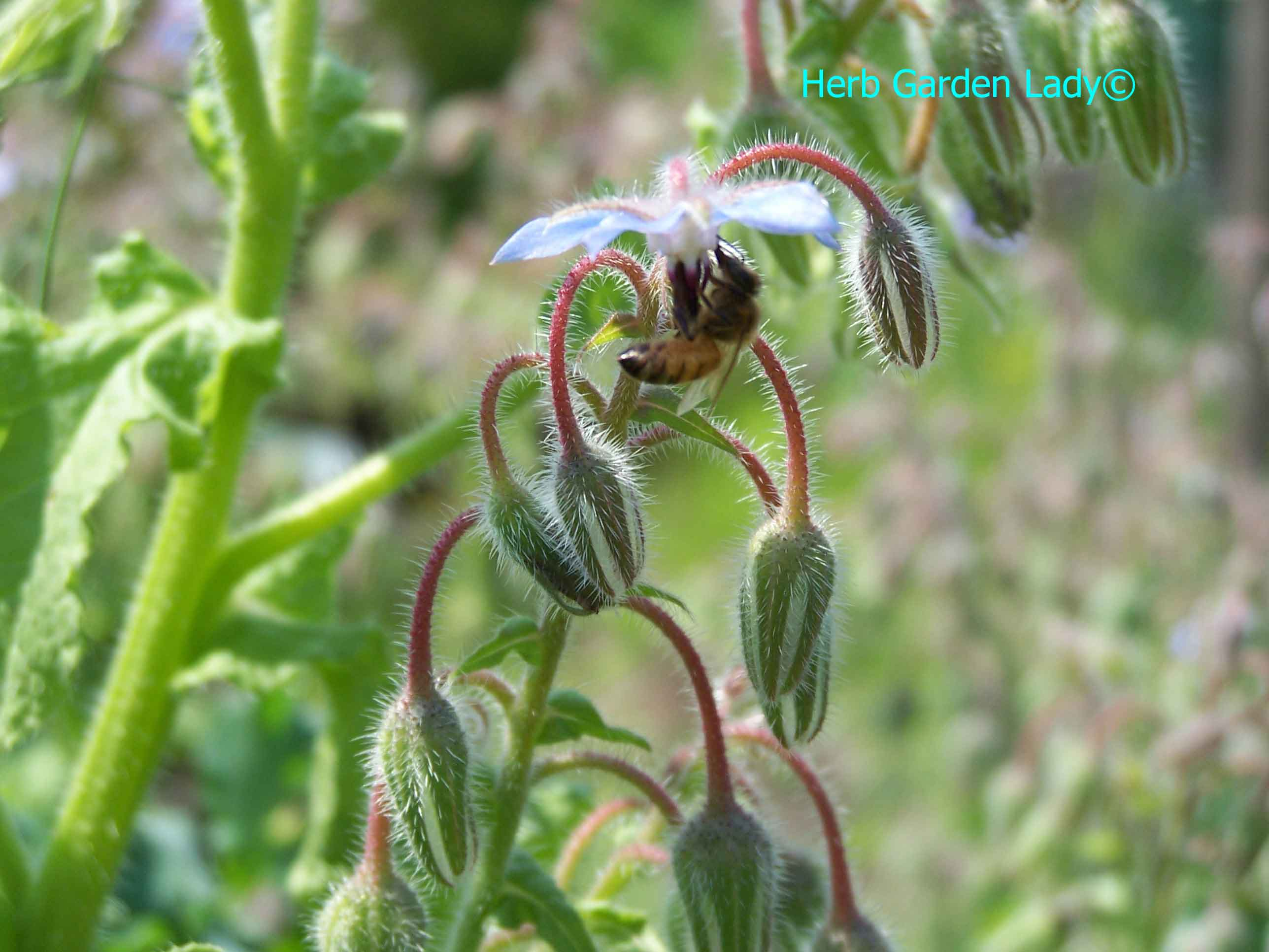 This honey bee is collecting nectar on borage herb and is a good pollinator.