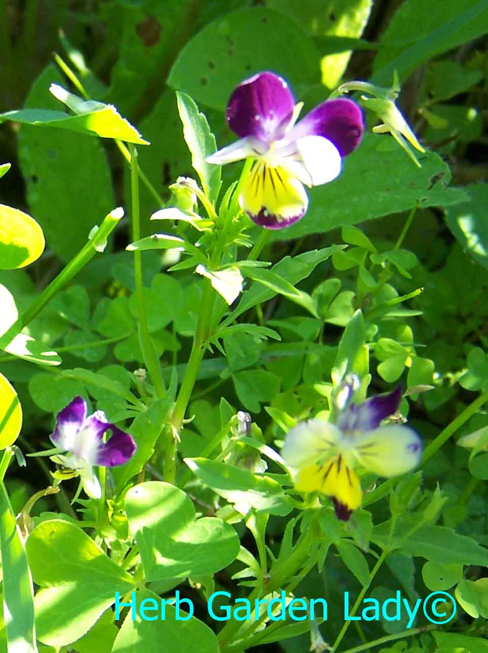Sweet violets or Johnny Jump Ups are small enough for a windowsill herb garden.