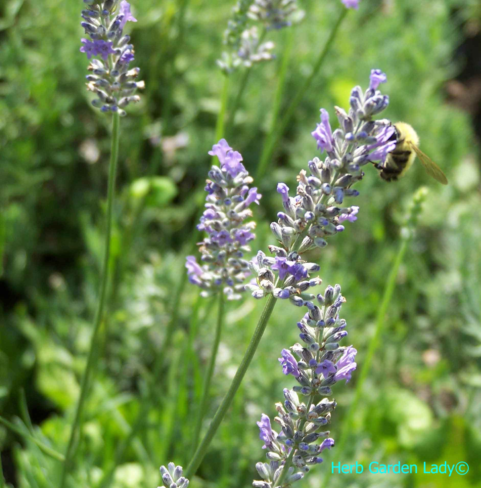 A bumble bee is pollinating lavender and is an important beneficial insect.