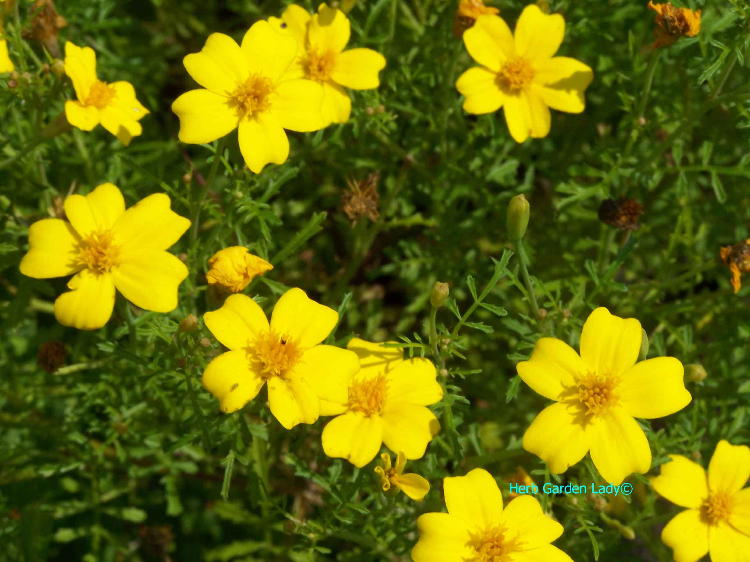 Lemon Gem (Tagetes tenuifolia) marigolds are edible flowers.