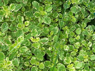 Sweet Marjoram has a strong, spicy flavor and is excellent for herb breads.