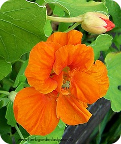 Nasturtium edible flowers and buds