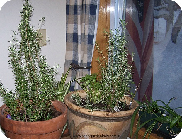 Rosemary is grown inside during the winter months here in the north.