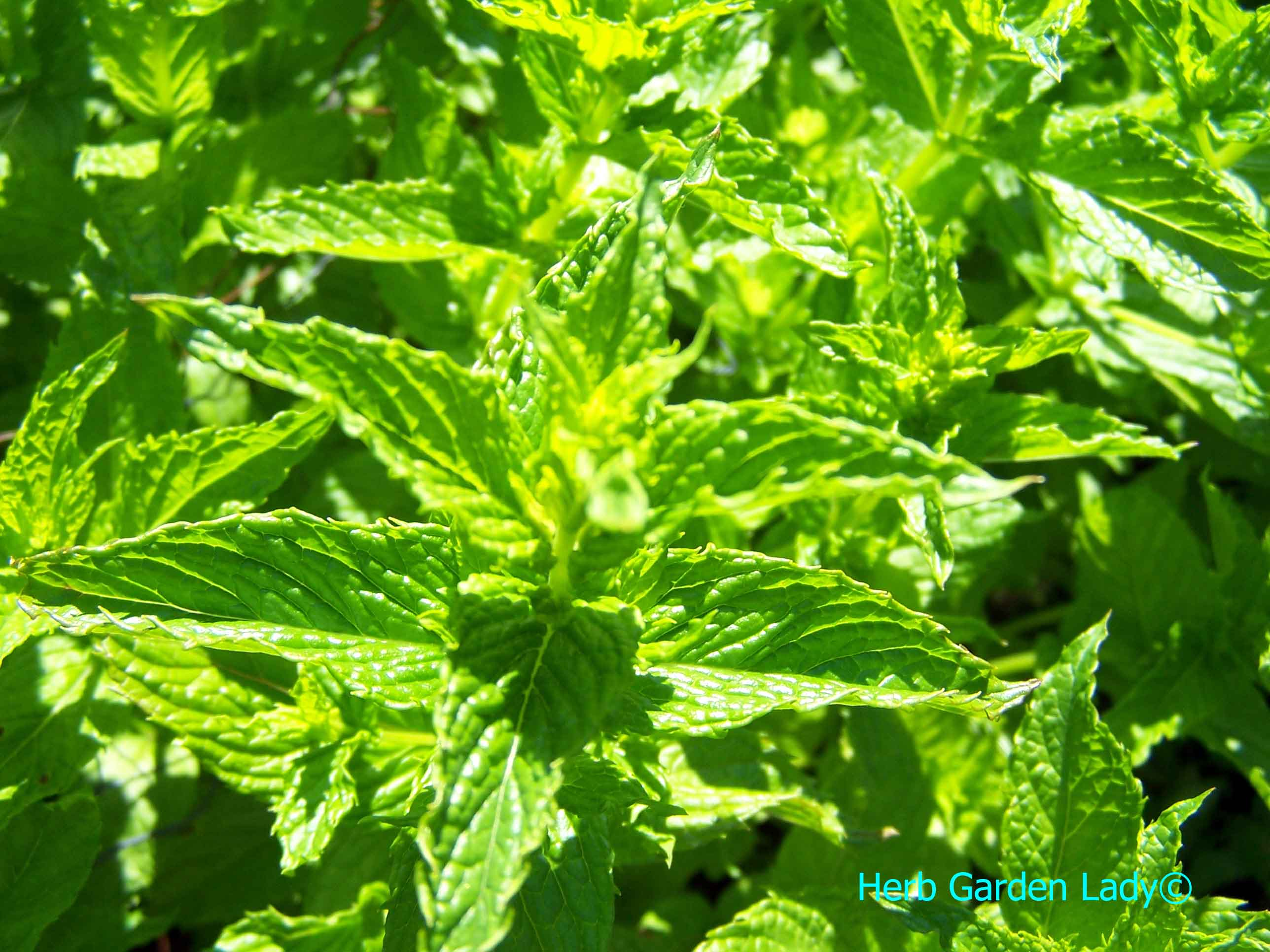 Spearmint is great for a kitchen herb garden.