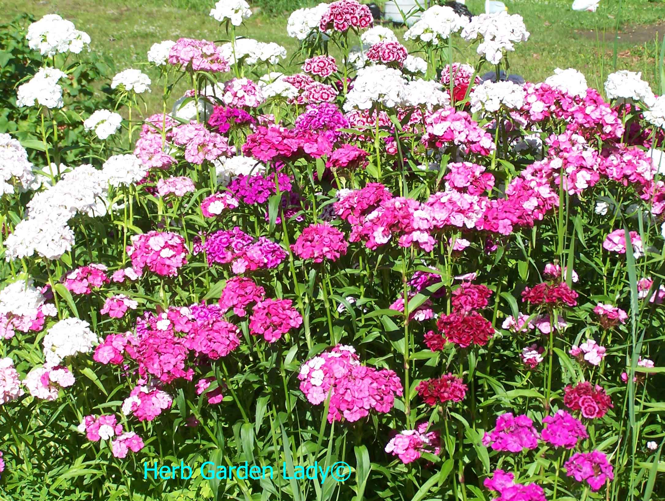 Sweet William herb