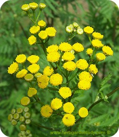 Tansy herb good to repel insects