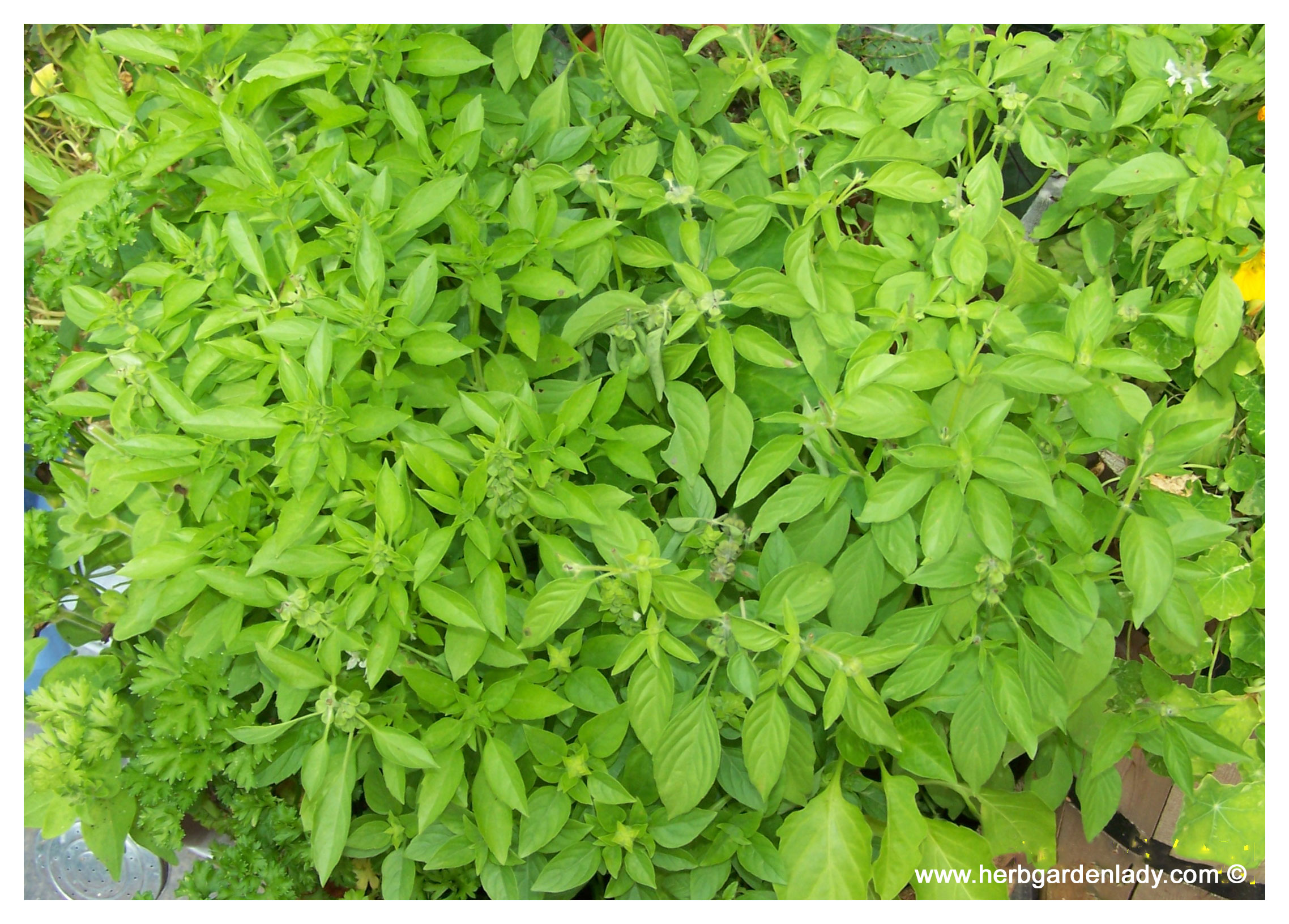 This basil herb is a garden necessity with its flavor for culinary uses and a garden asset with insect confusion qualities