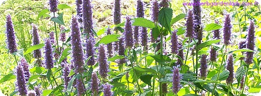 Anise Hyssop digestive benefits in a licorice tasting tea.