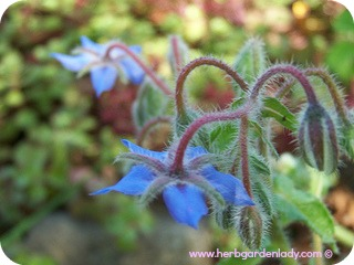 Borage edible flowers and leaves