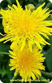 Dandelion herb is used to make vinegar's, wine, herb rubs and herbal teas.