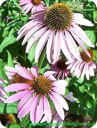Echinacea herb for colds, flu and ear aches.