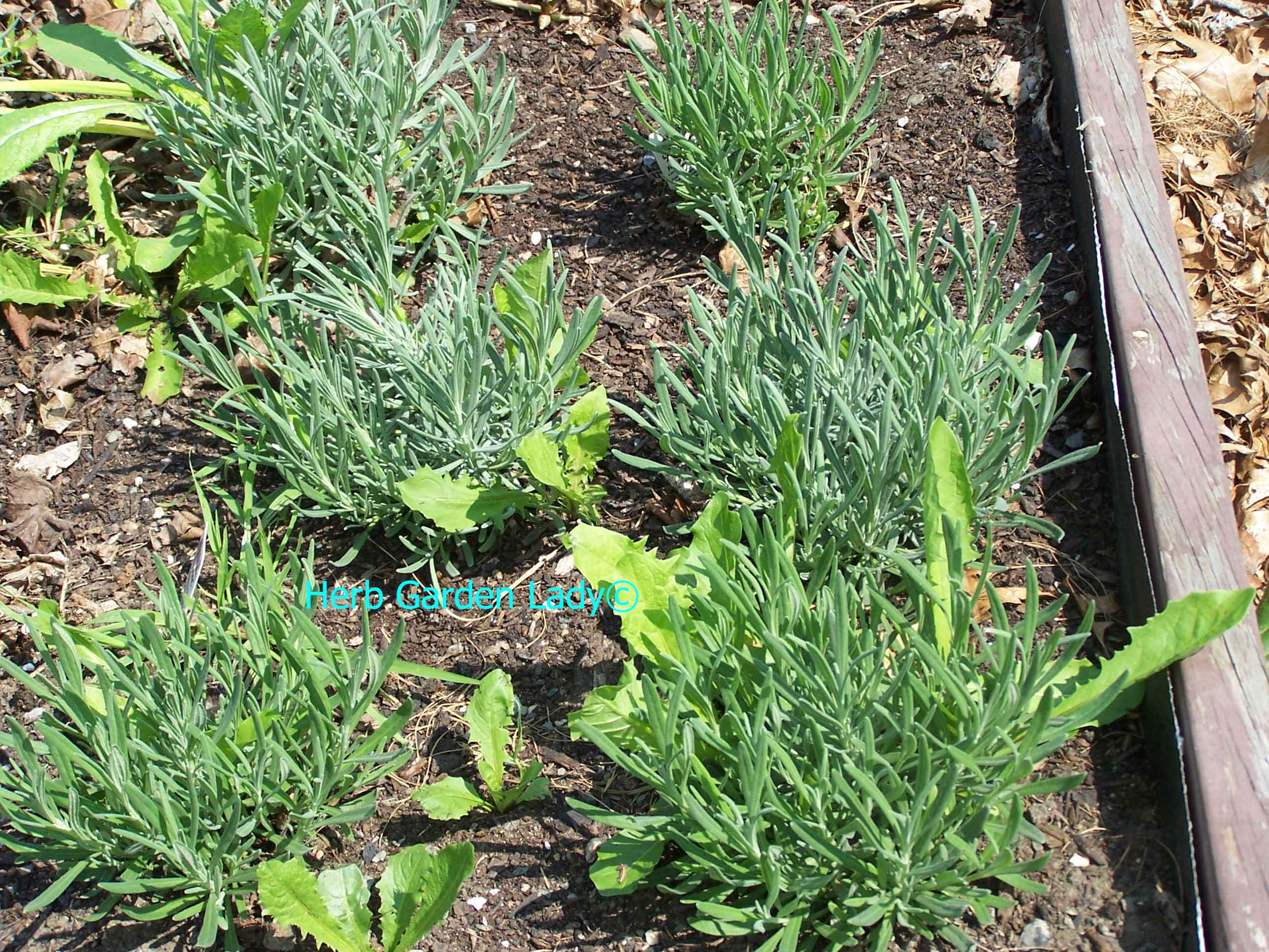 A lavender herb bed