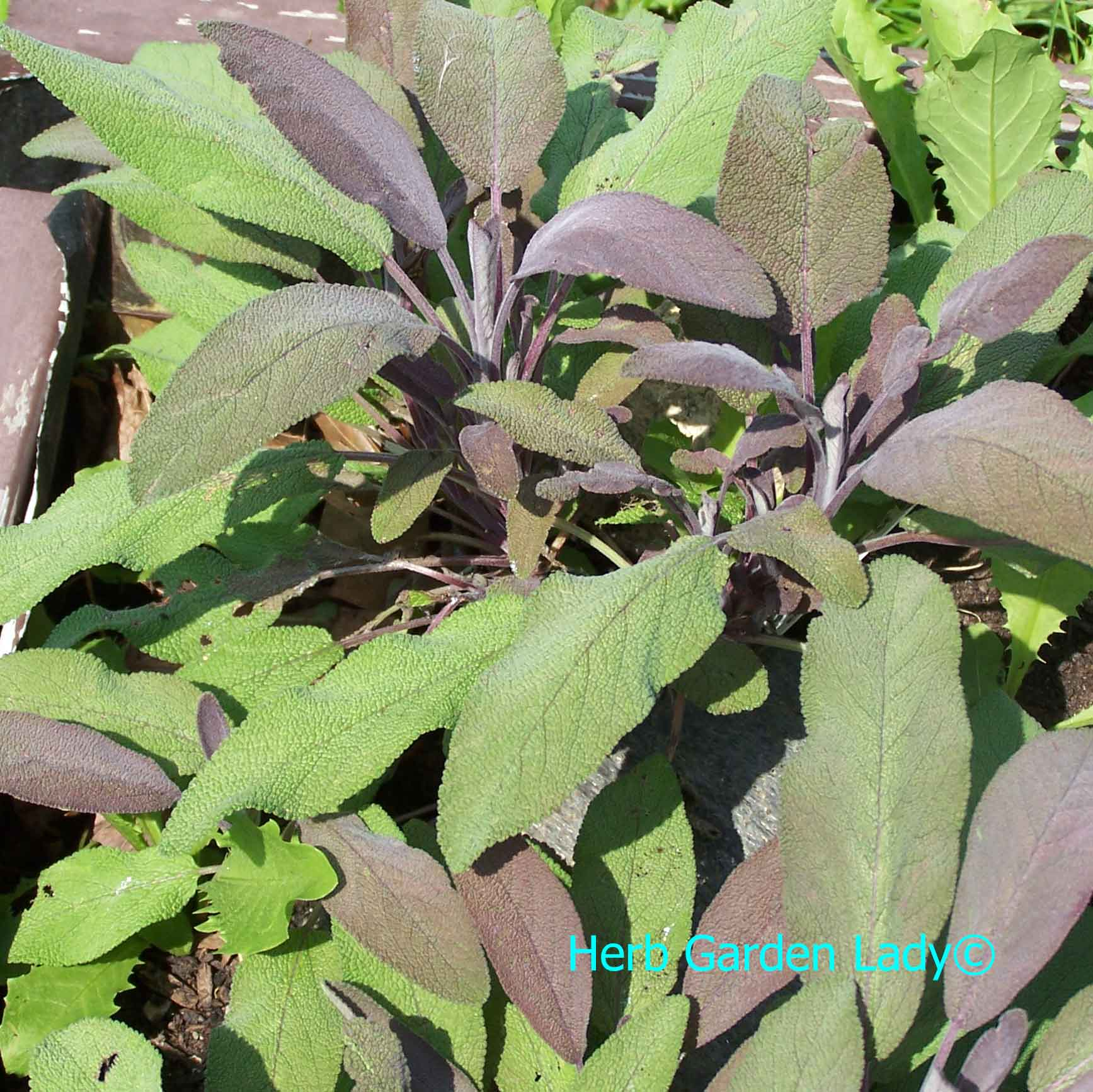 Sage herb used in aromatherapy for depression, fatigue, insect bites, menopause, and insomnia.
