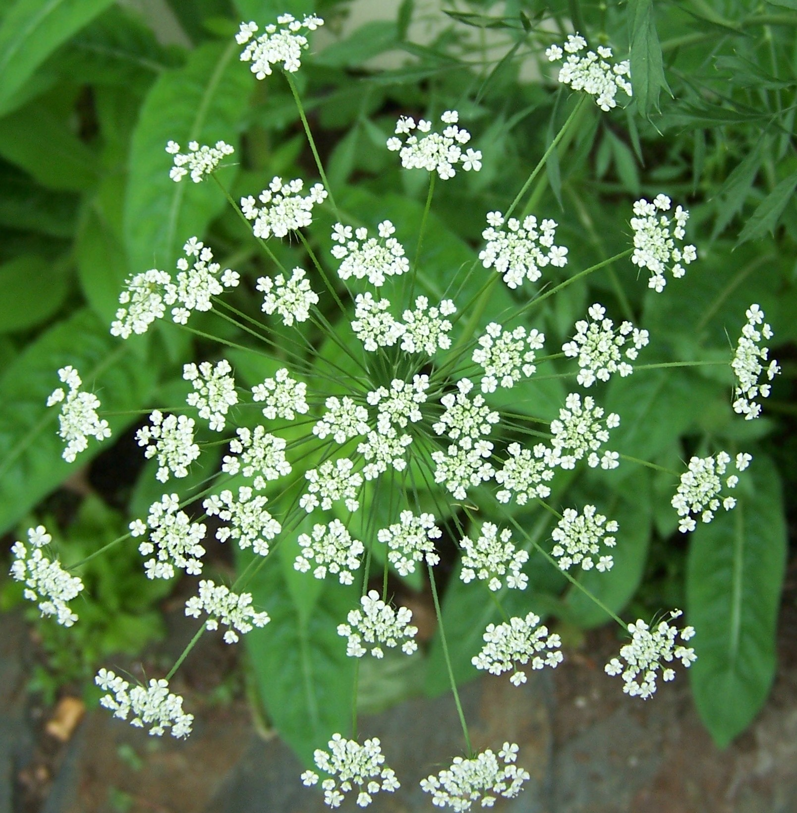Queen Anne's Lace is a great attractant for beneficial insects.