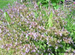 Common sage is good for sore throat gargle and eases digestion of fatty meats.