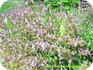 Sage herb edilbe flowers