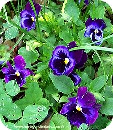 Sweet violets or pansies have medium length roots.