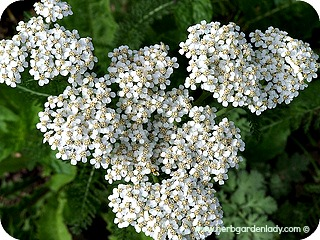 Yarrow white herb plant